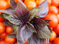 Herbs_basil_purple_001